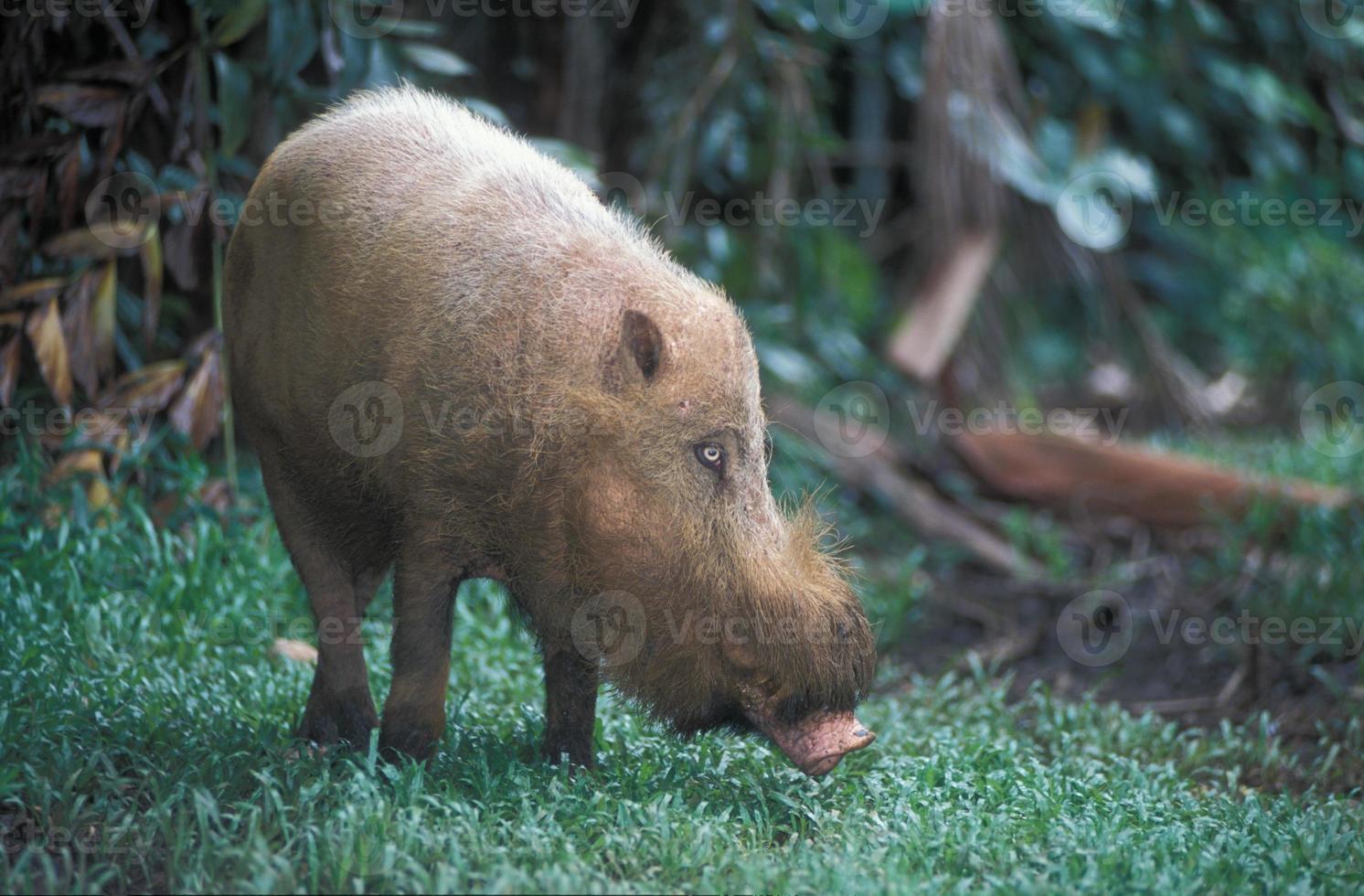 cerdo barbudo foto