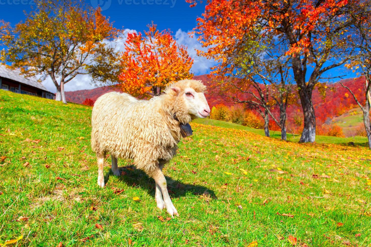 White sheep on pasture in the mountains photo