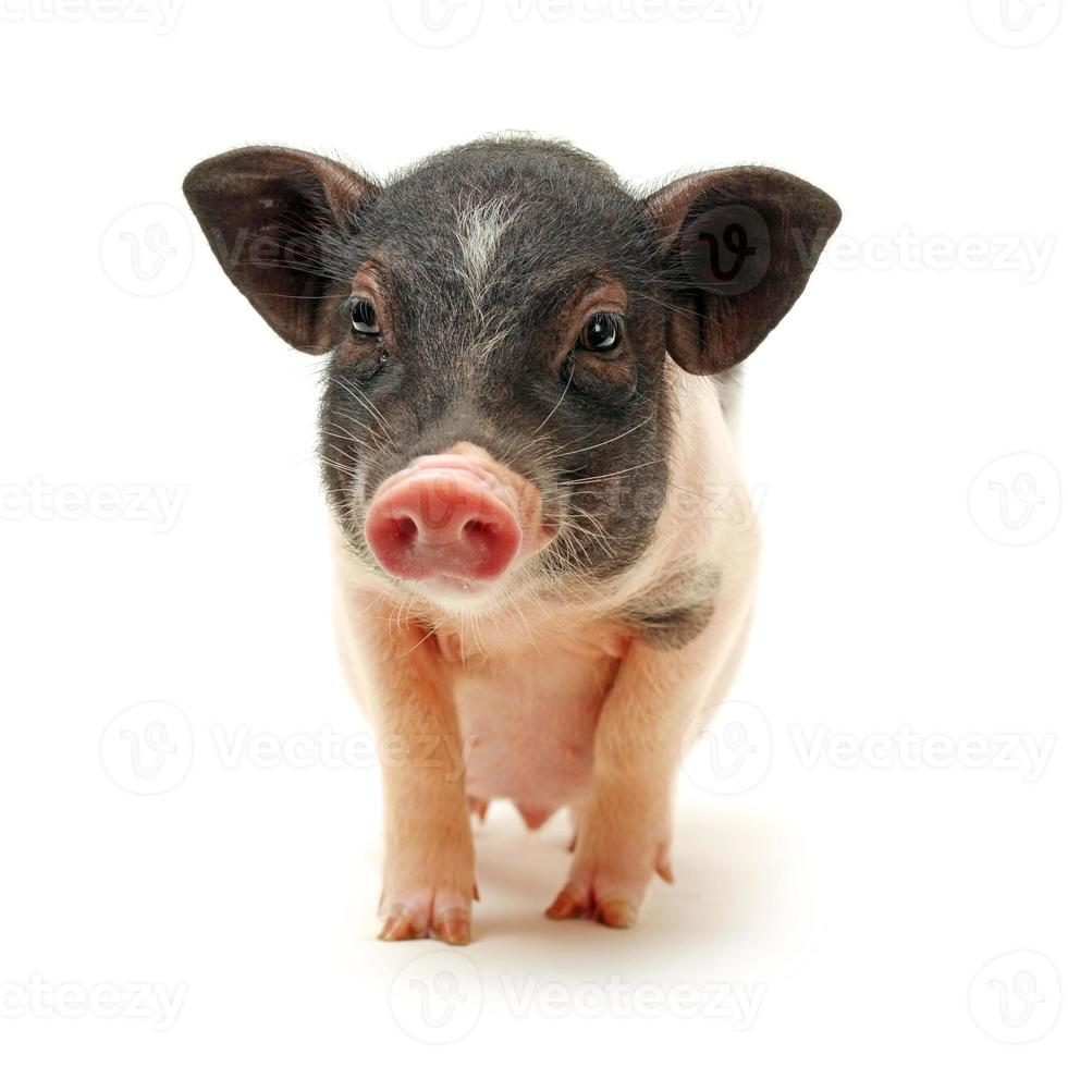 Pet Pig photo