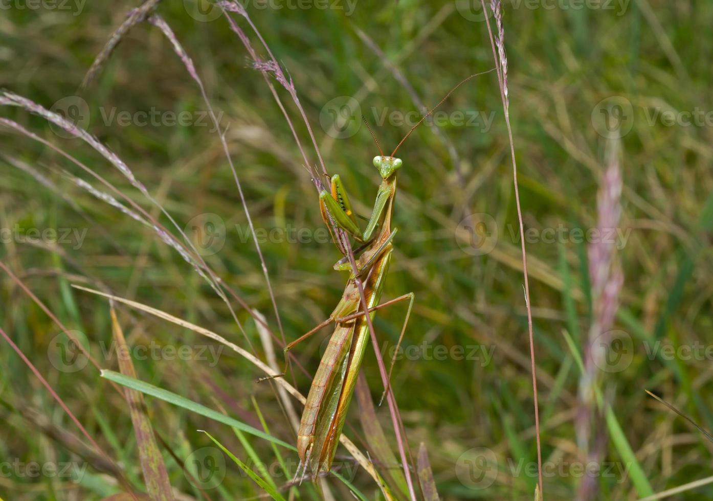 mantis sobre hierba foto