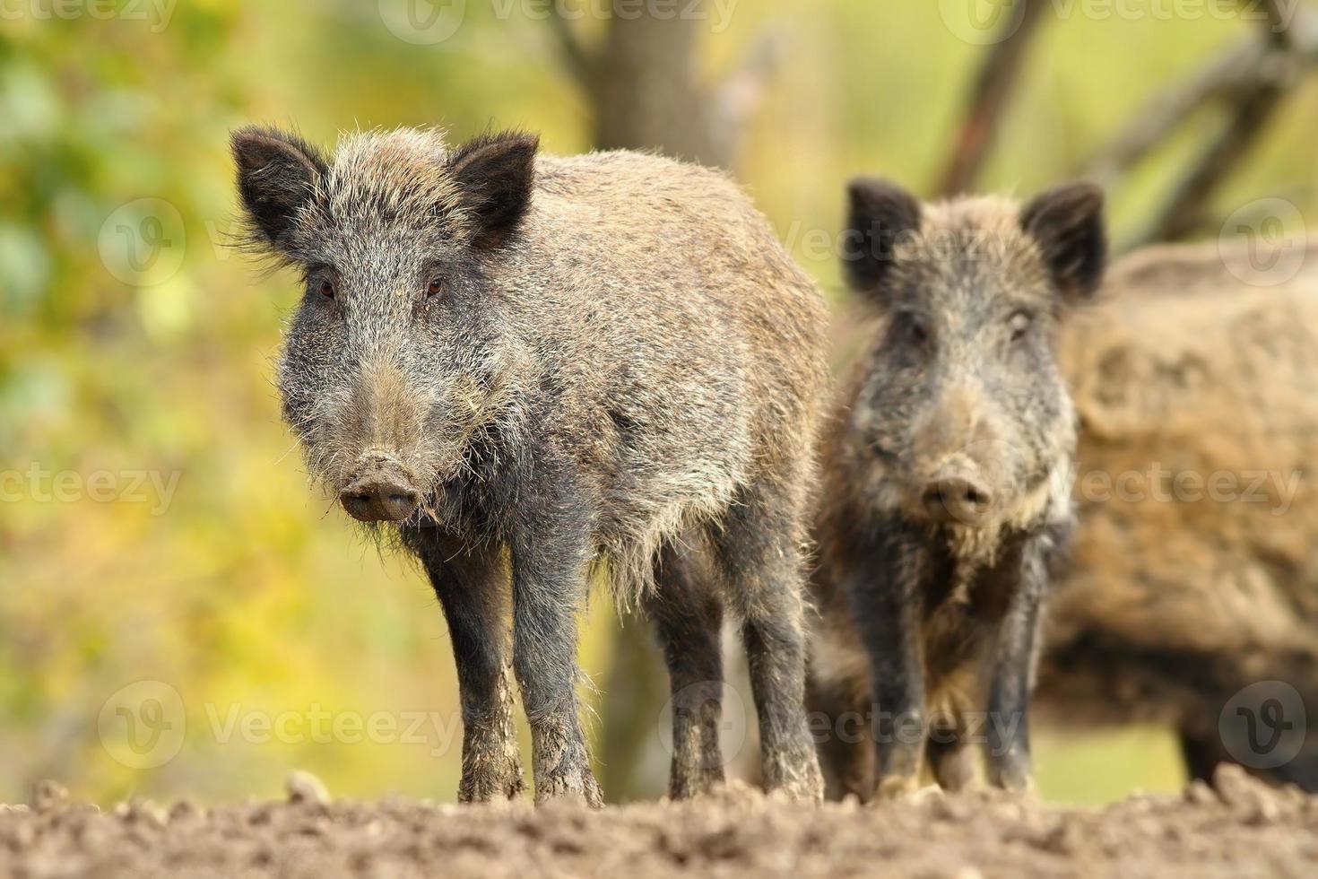 family of wild hogs photo