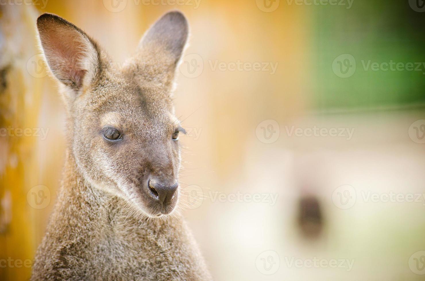 portreit de canguro foto