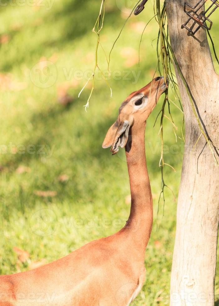 gerenuk del sur, litocranius walleri foto