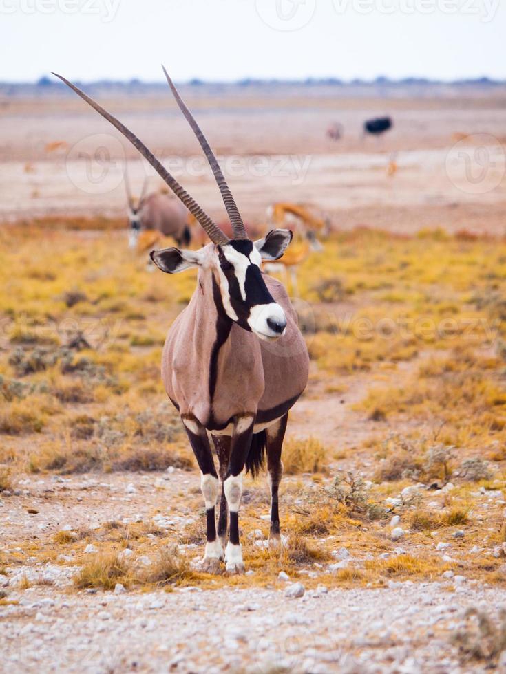 Gemsbok antelope in the yellow grass photo