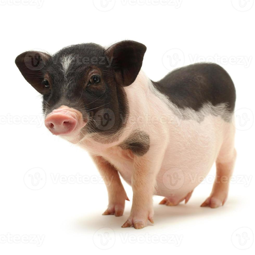 Pet baby pig photo