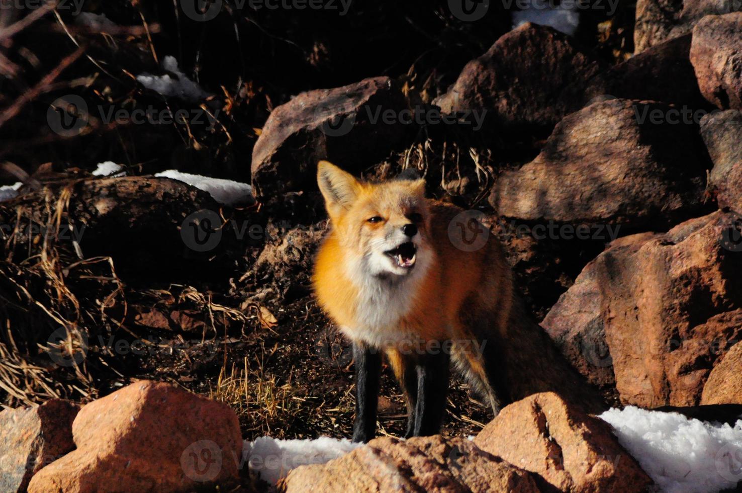 zorro rojo aullando foto