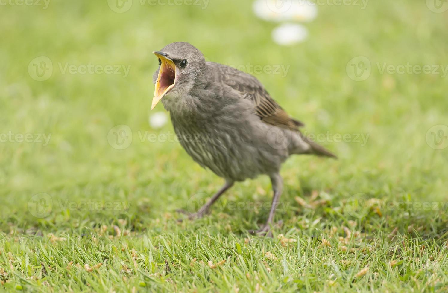 estornino, bebé, de pie sobre la hierba, graznando por comida foto