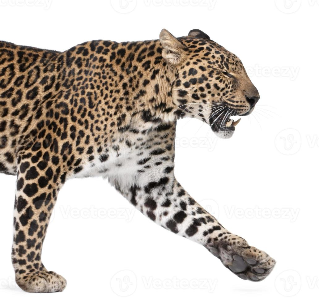 Vista lateral de leopardo caminando y gruñendo contra el fondo blanco. foto
