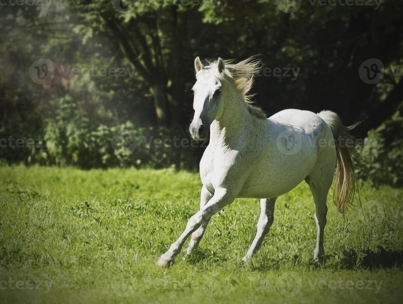 White Arabian Horse Running In Nature Stock Photo