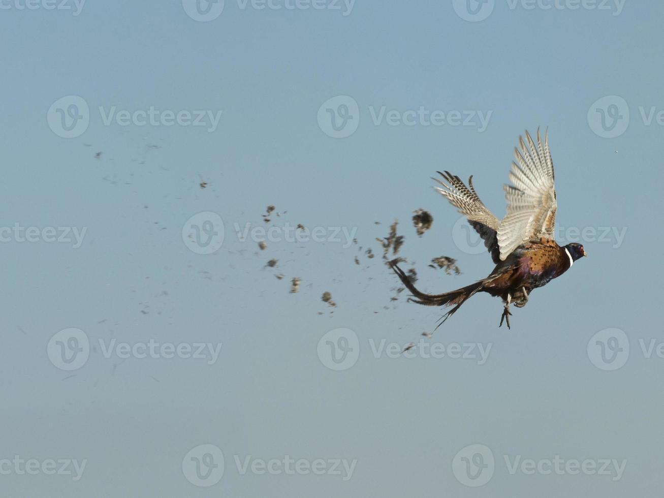 Pheasant Hunting photo