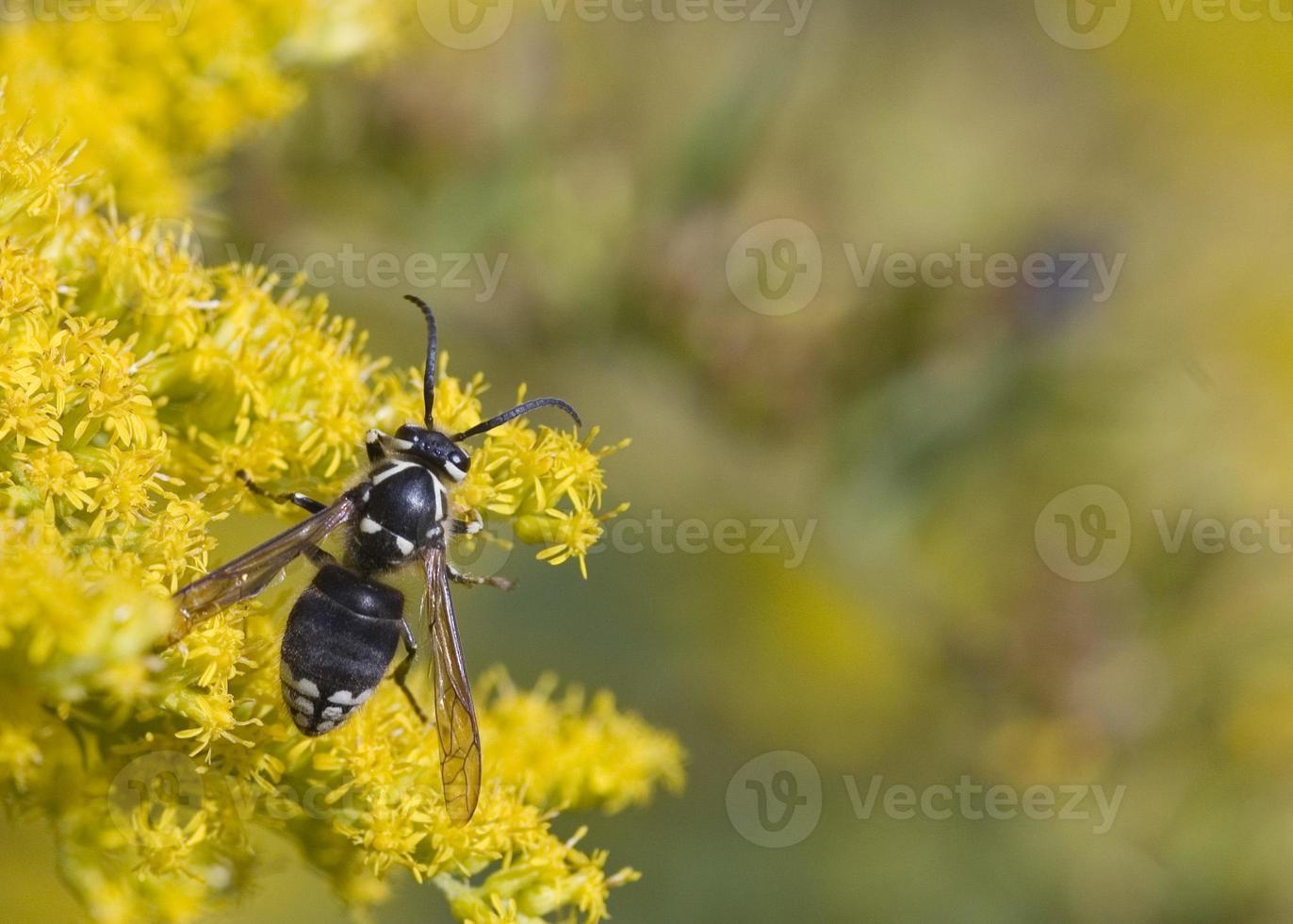 avispón de cara calva (vespula maculata) foto