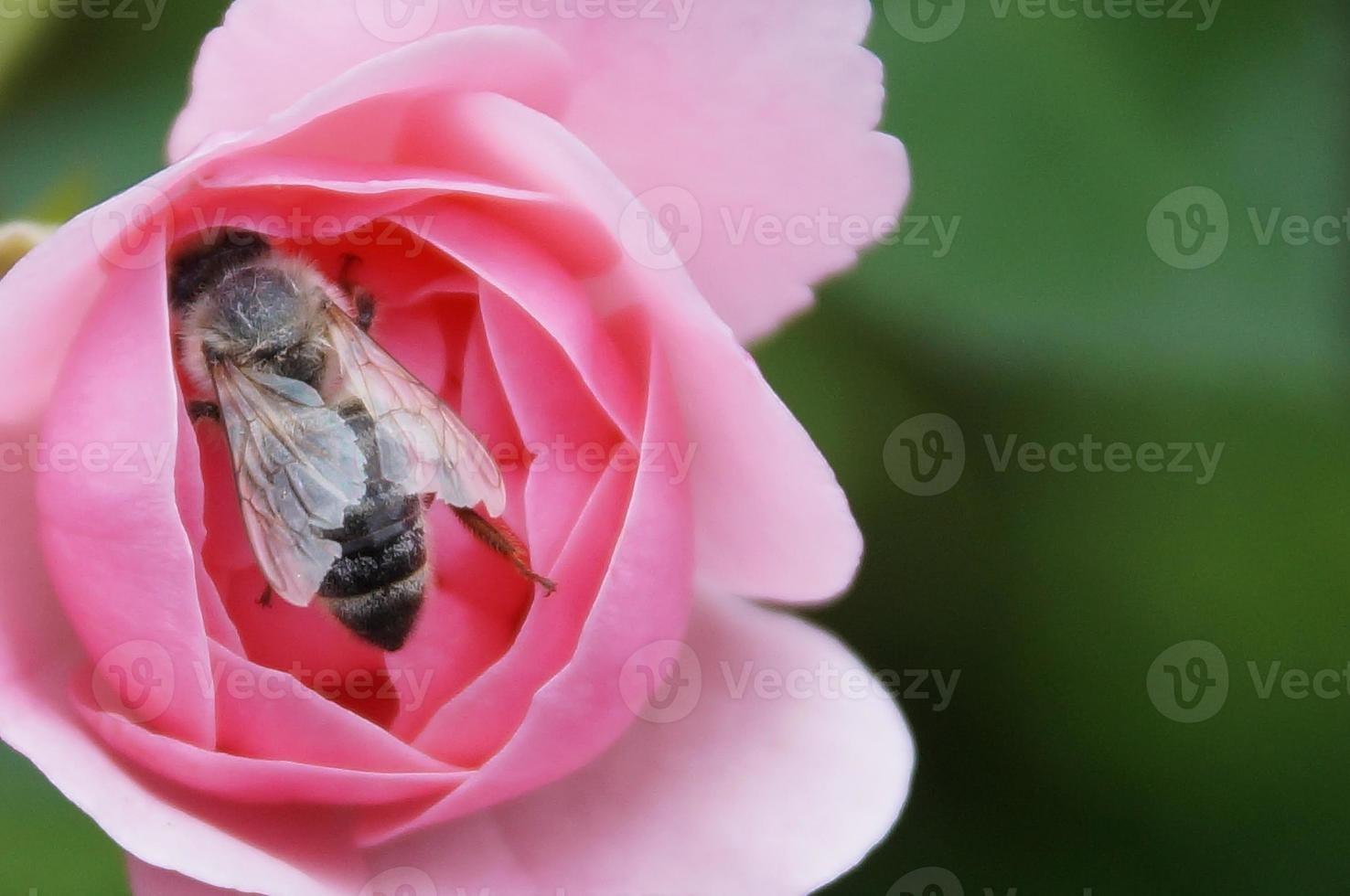 The Rose and the Bee... photo