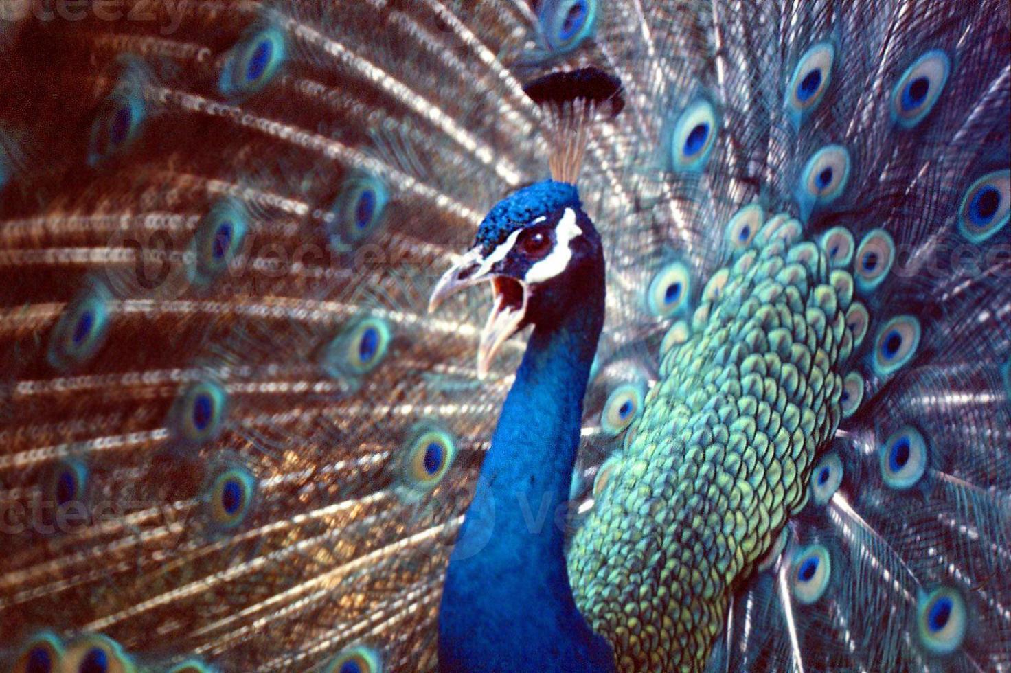 visualización de pavo real foto