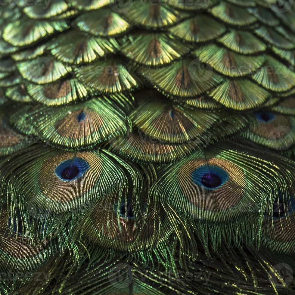 plumas de pavo real foto