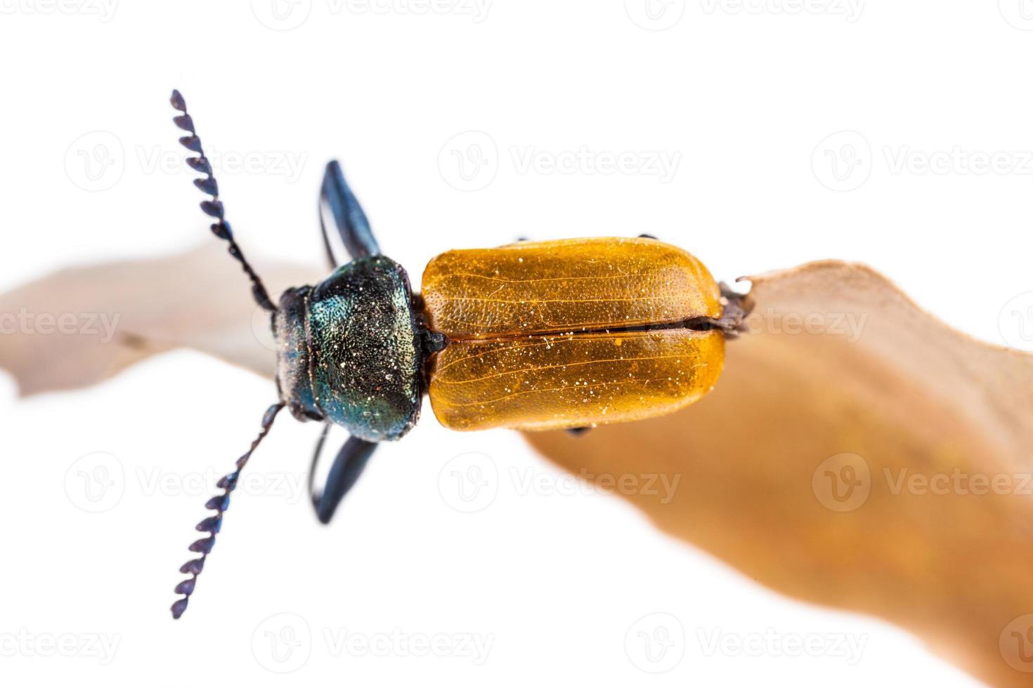escarabajo foto