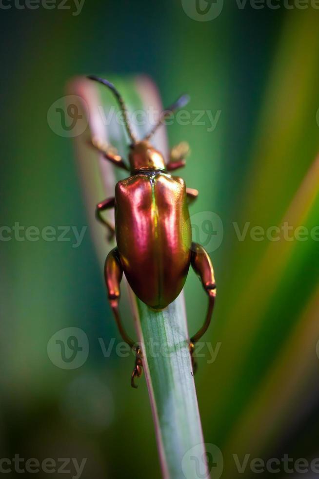 escarabajo de hoja de Dogbane - Chrysochus auratus foto