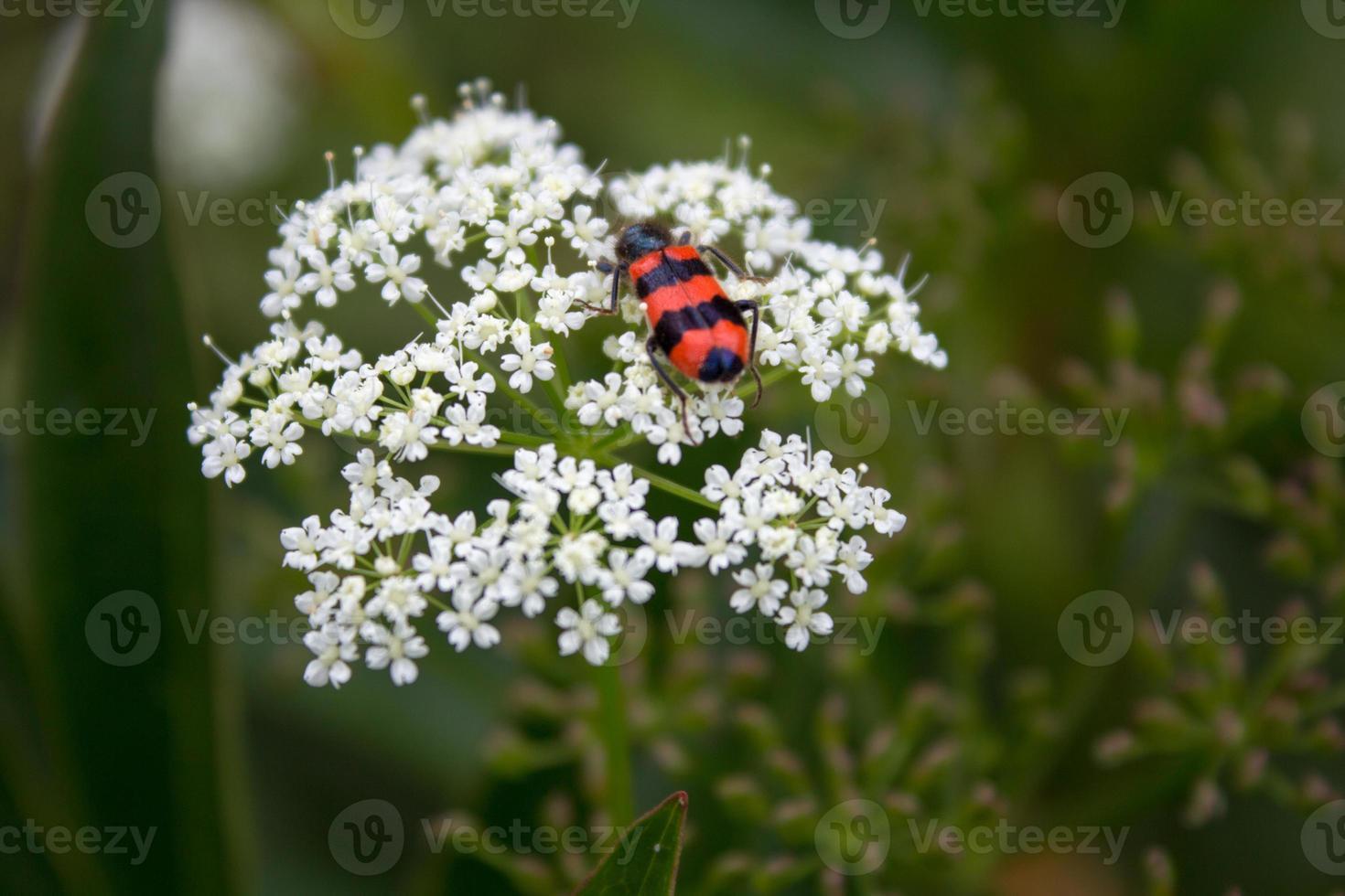 escarabajo meloidae foto