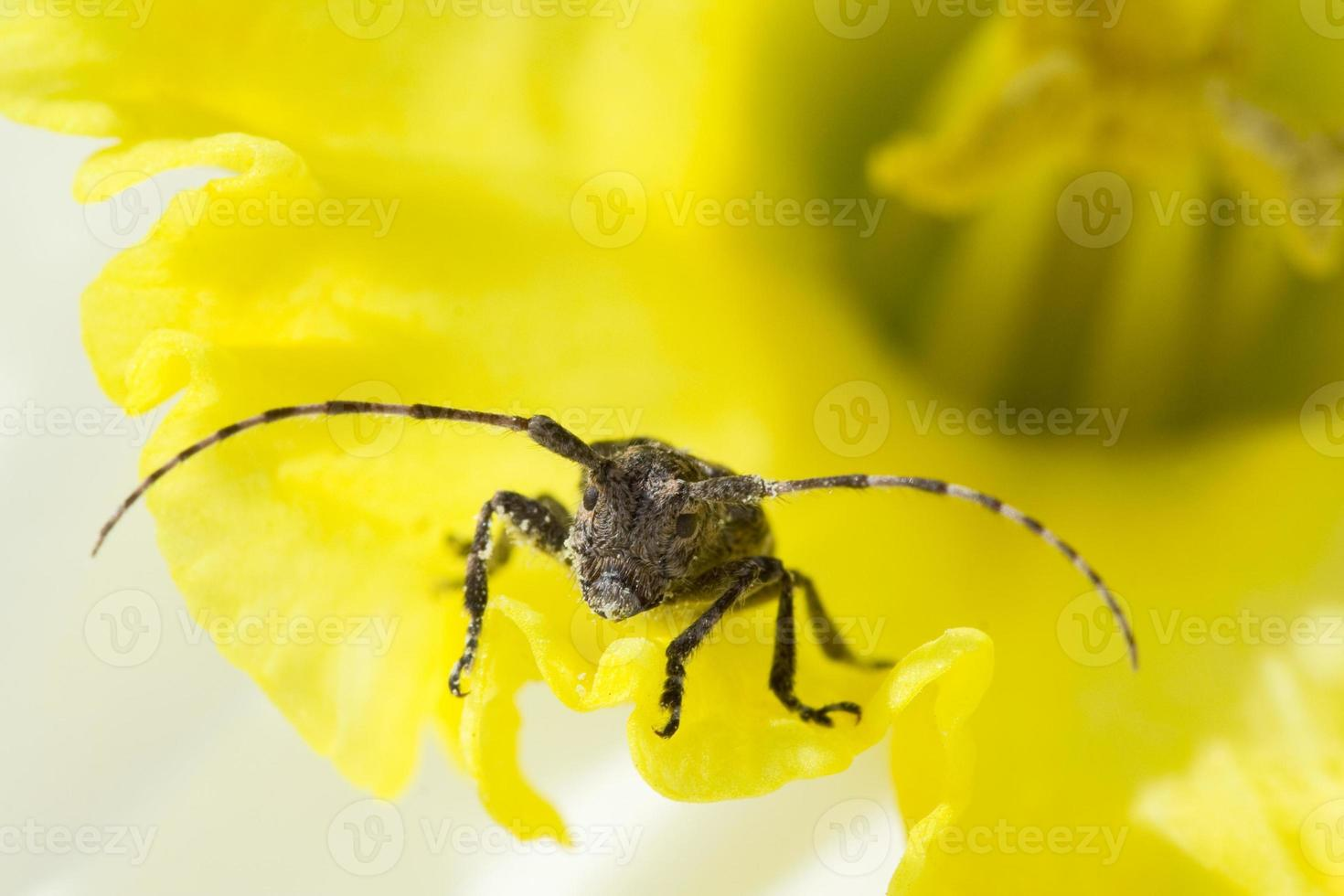 Yellow flower with beetle photo