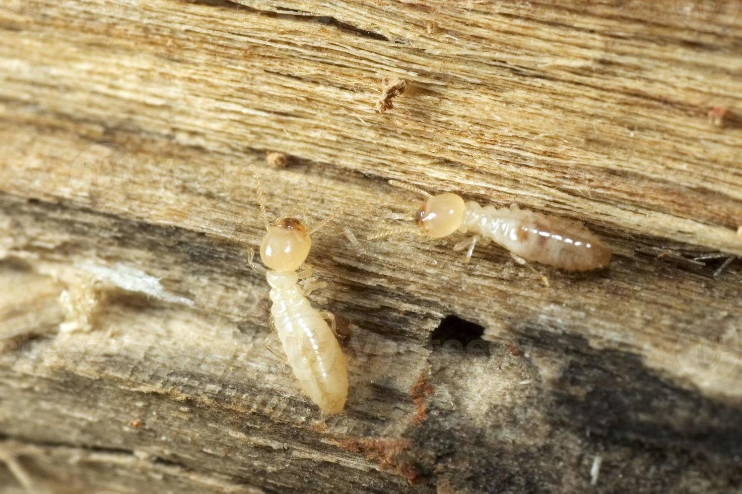 Termites photo
