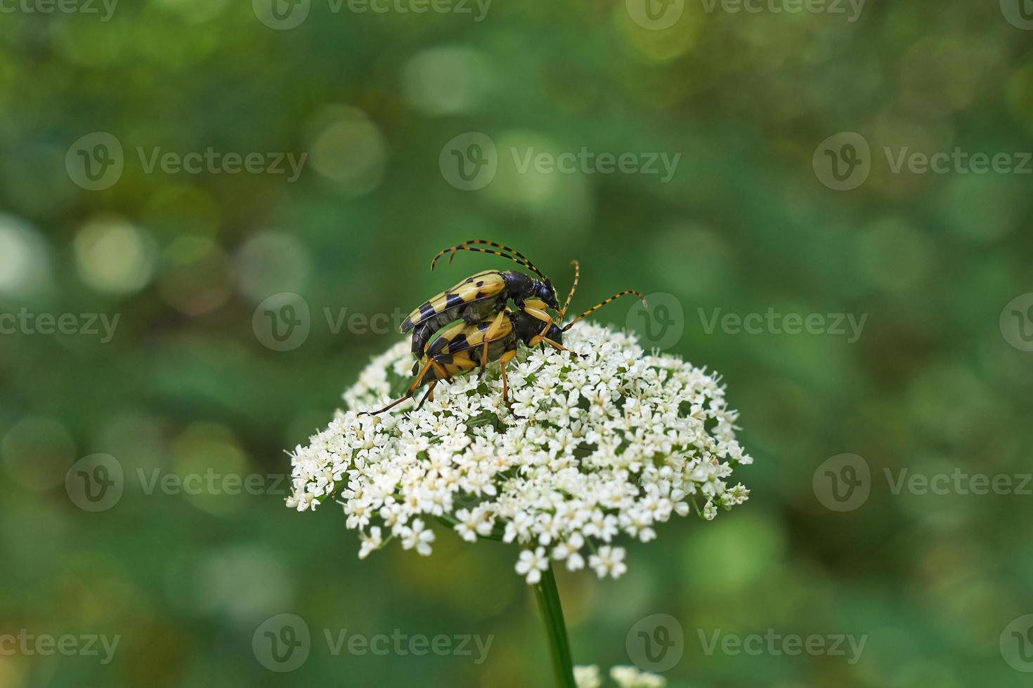 Beetles  occupied procreation. photo