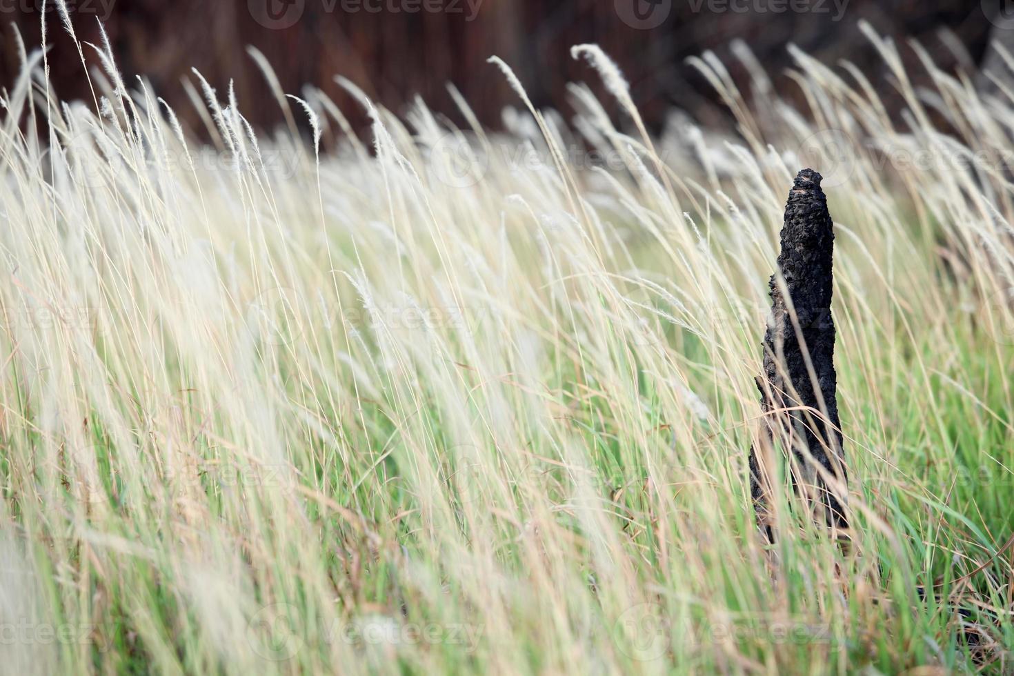 Colina de termitas entre cañas hierba. foto