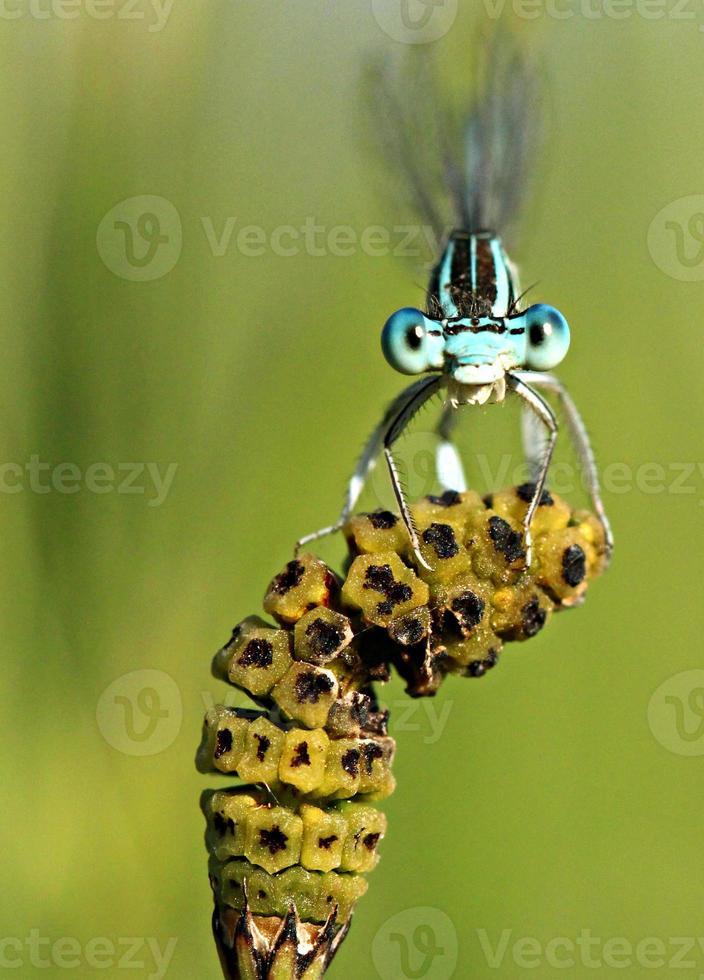 libélula hambrienta foto