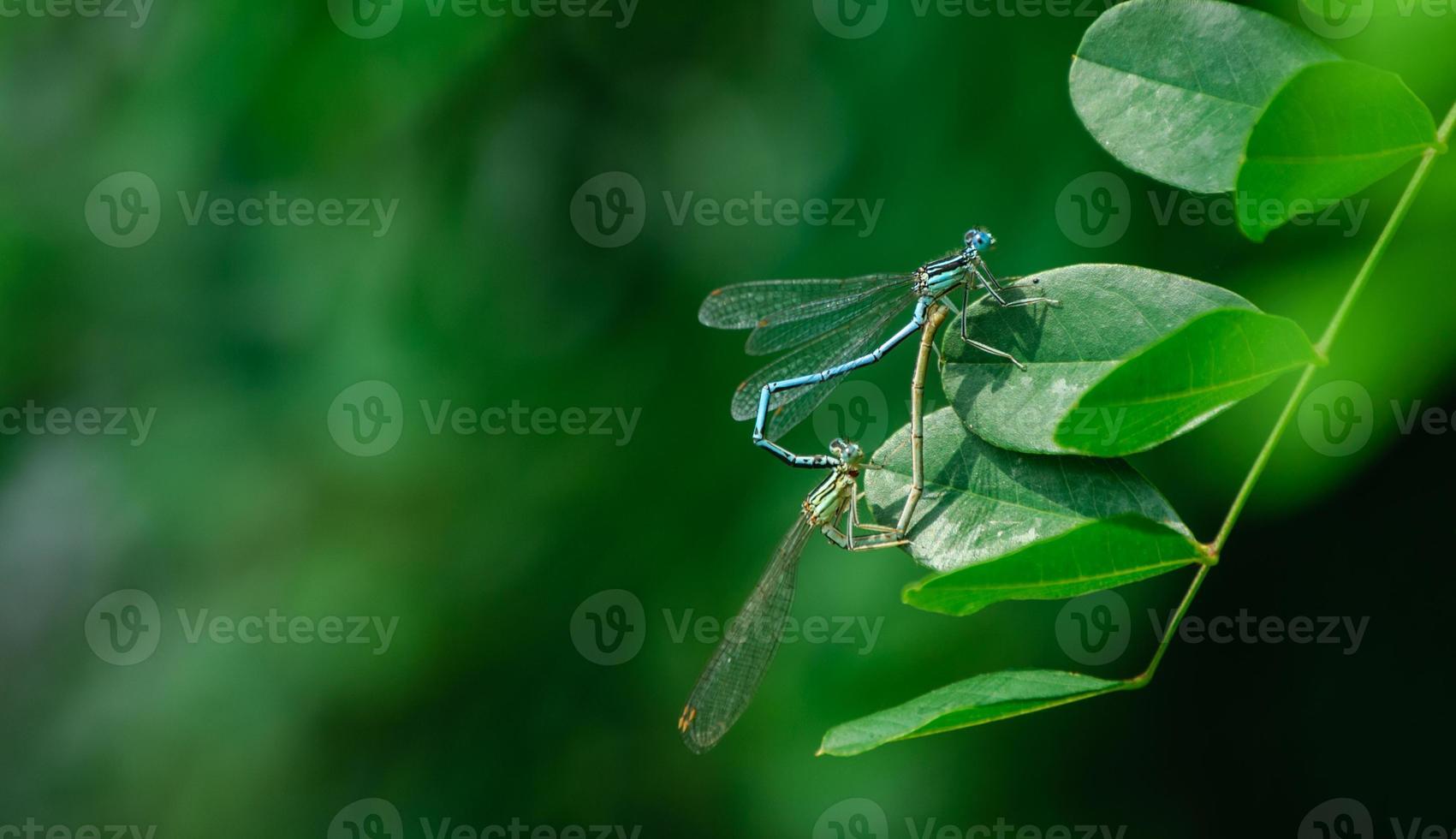 libélulas de apareamiento foto