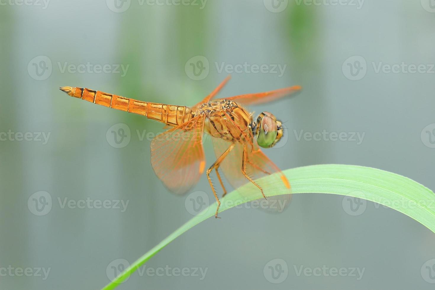 libélula dorada de cerca foto