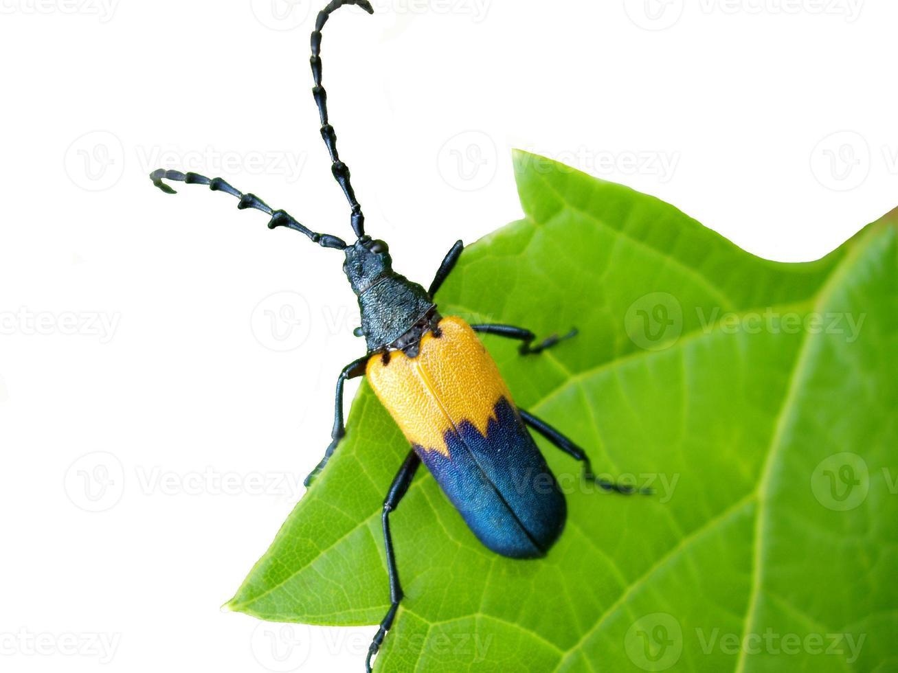 isolated beetle photo