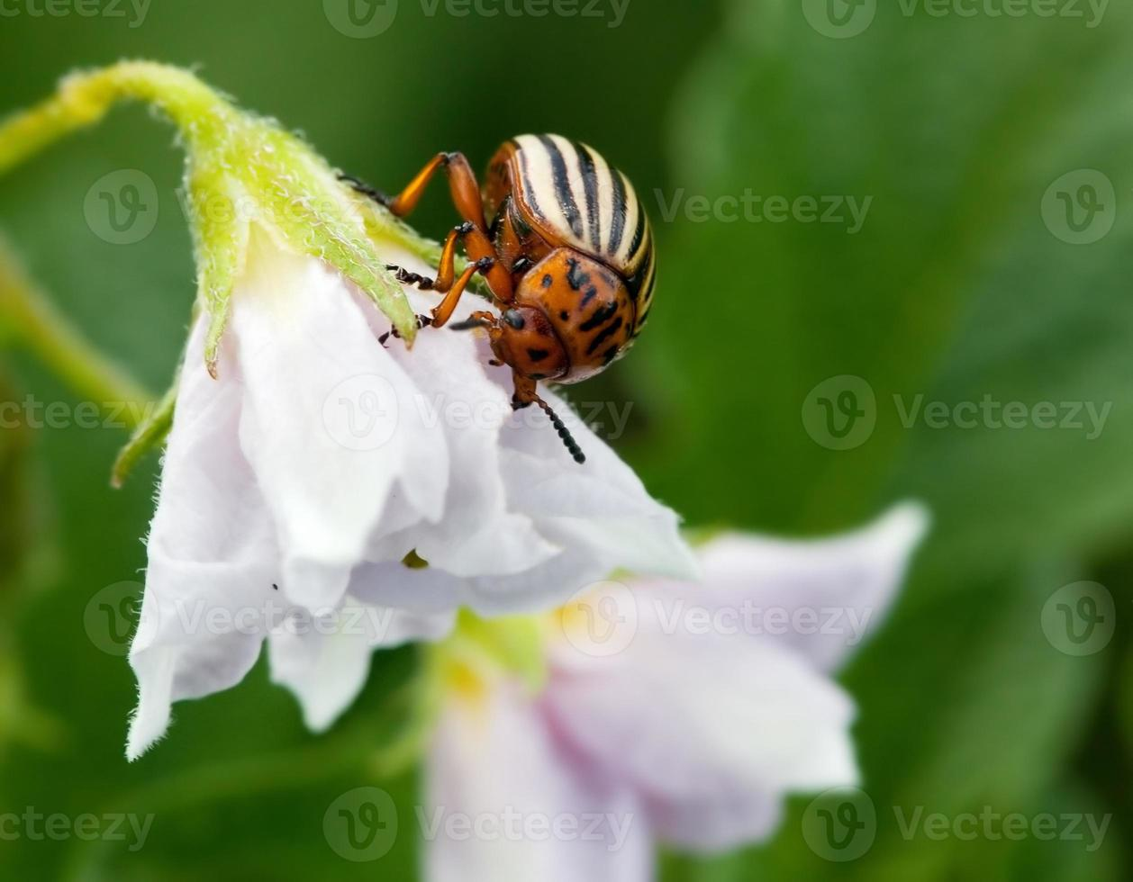 colorado beetle photo