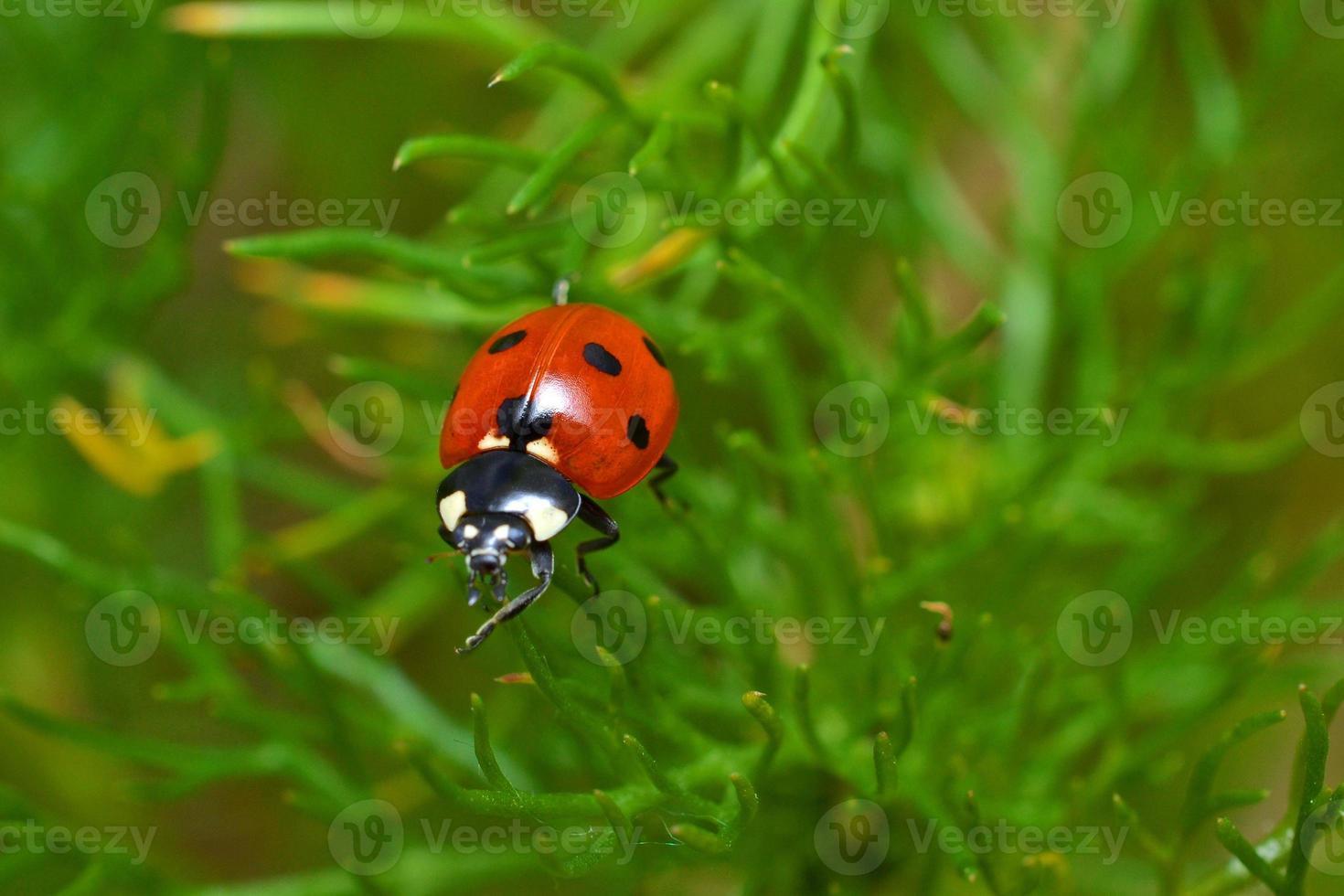 mariquita sobre la verde hierba foto