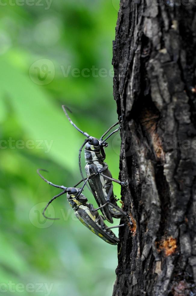 Longhorn Beetle photo