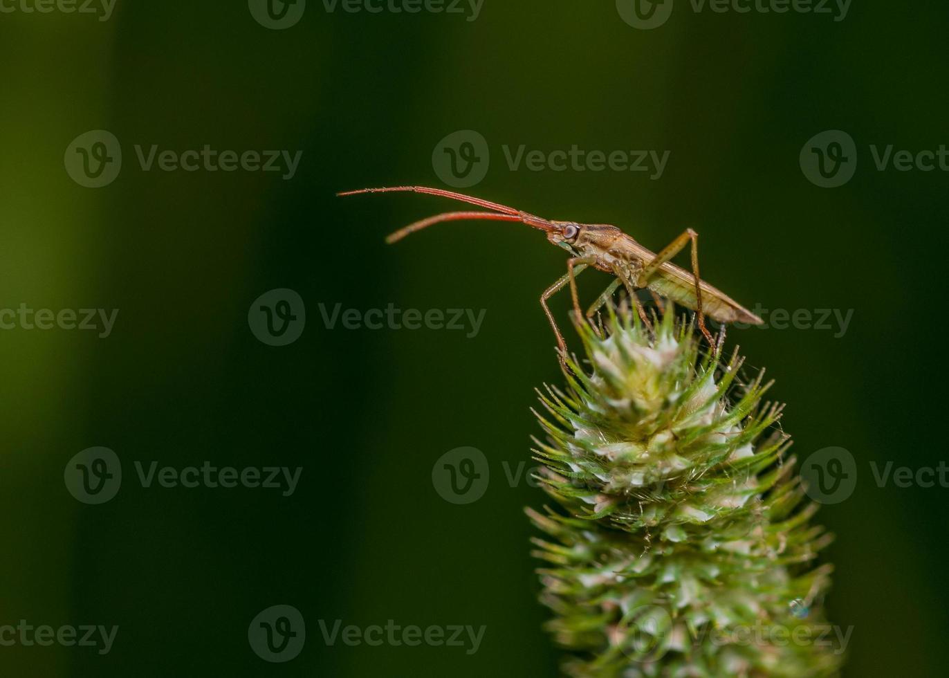 escarabajo soldado foto