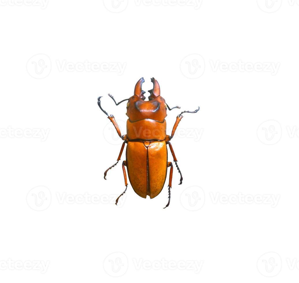 Escarabajo aislado sobre fondo blanco. foto