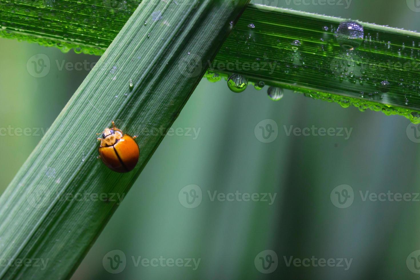 mariquita corriendo sobre brizna de hierba verde foto