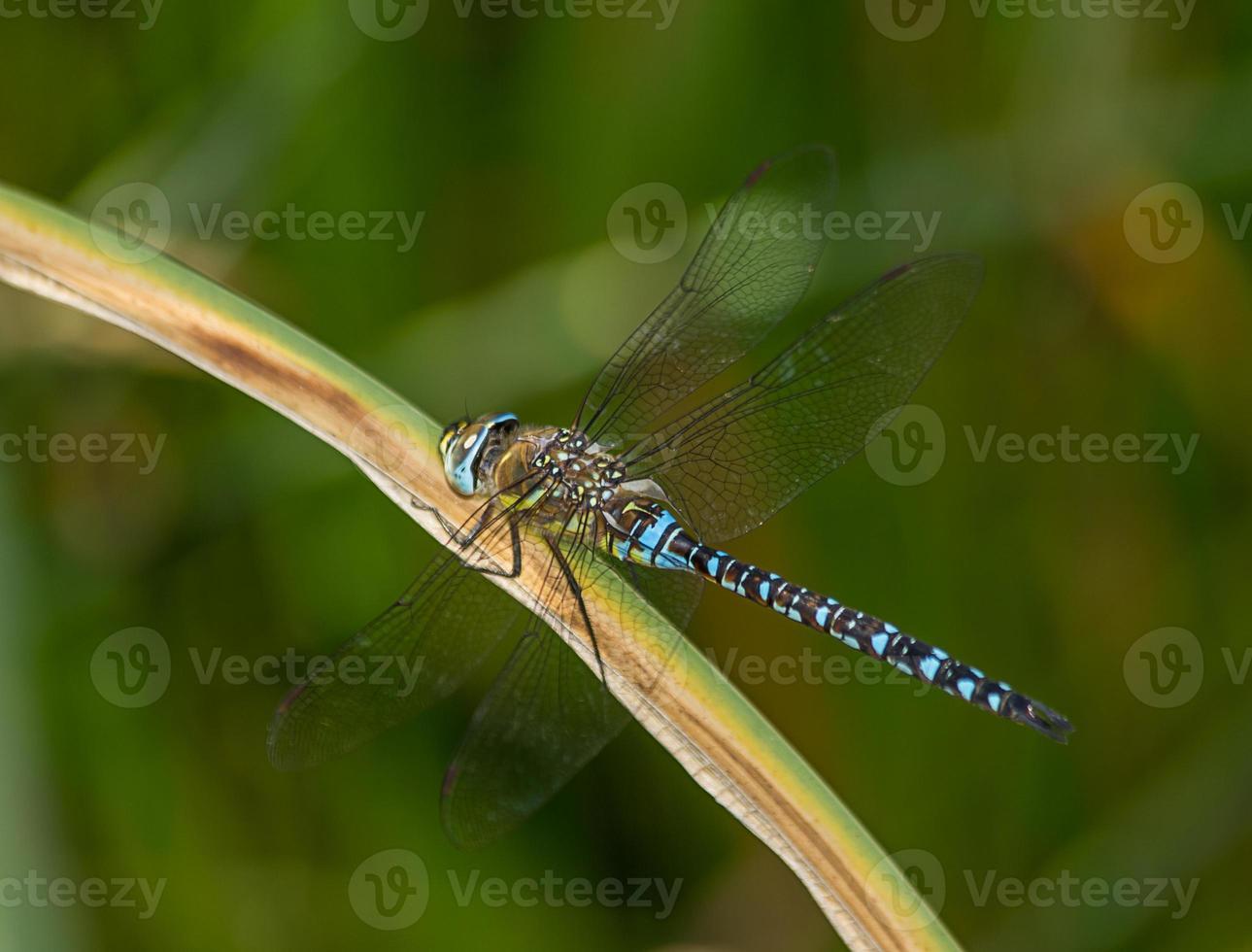 libélula en el jardín foto