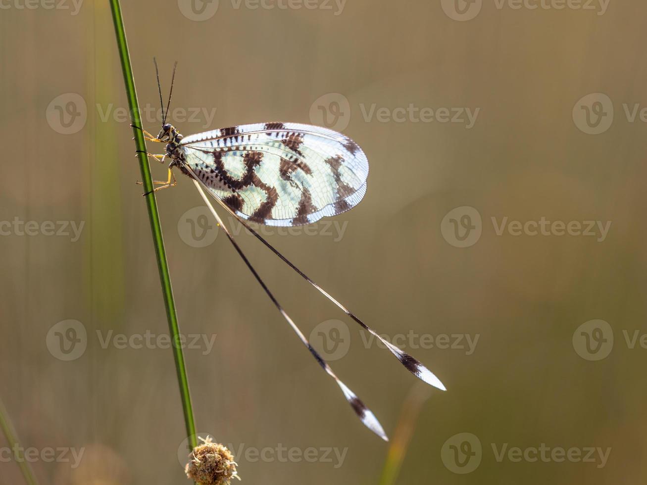hormiga león nemoptera insecto foto