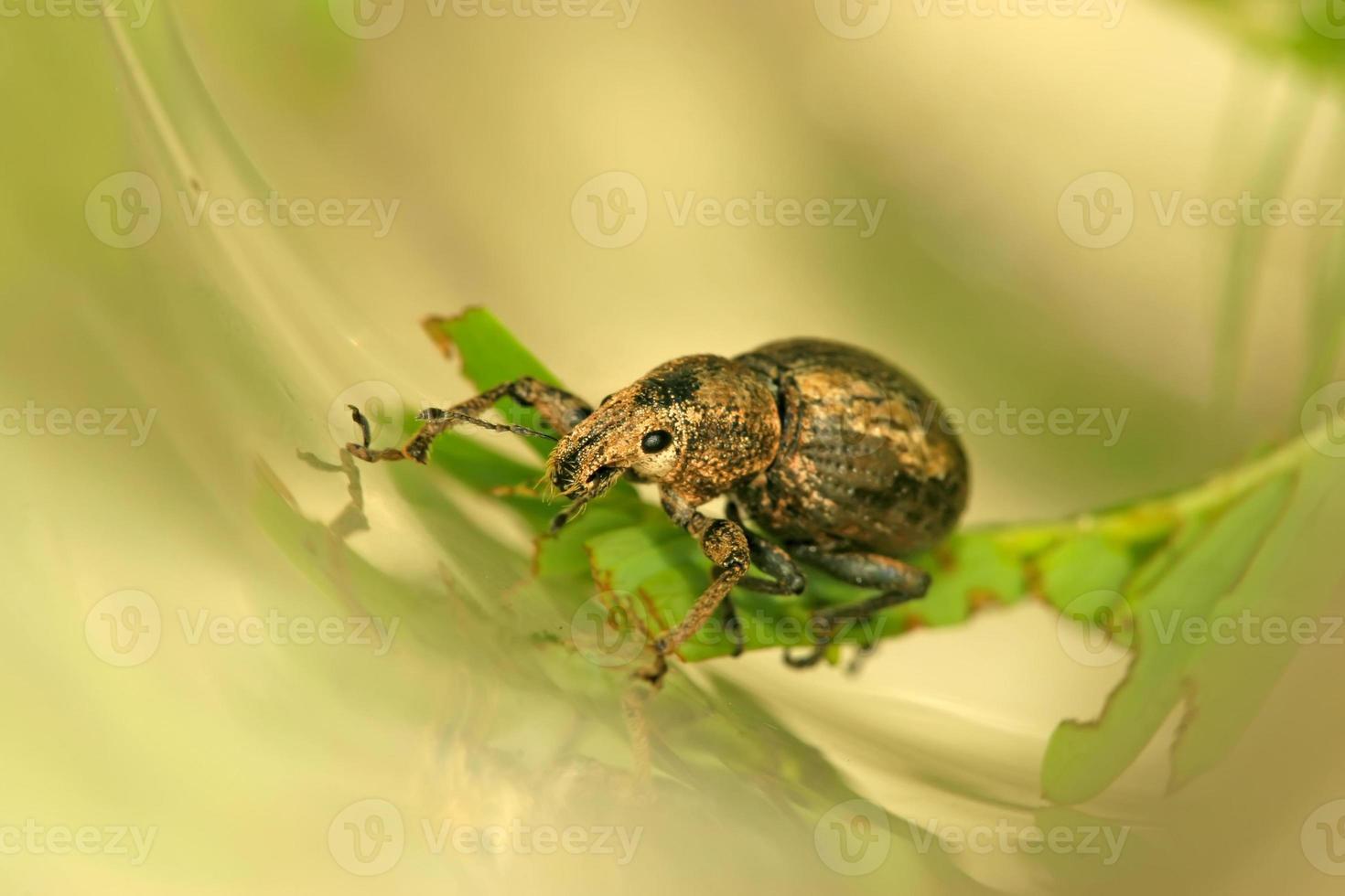 weevil photo
