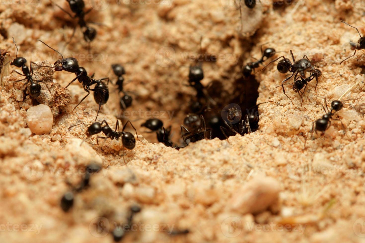 hormigas foto