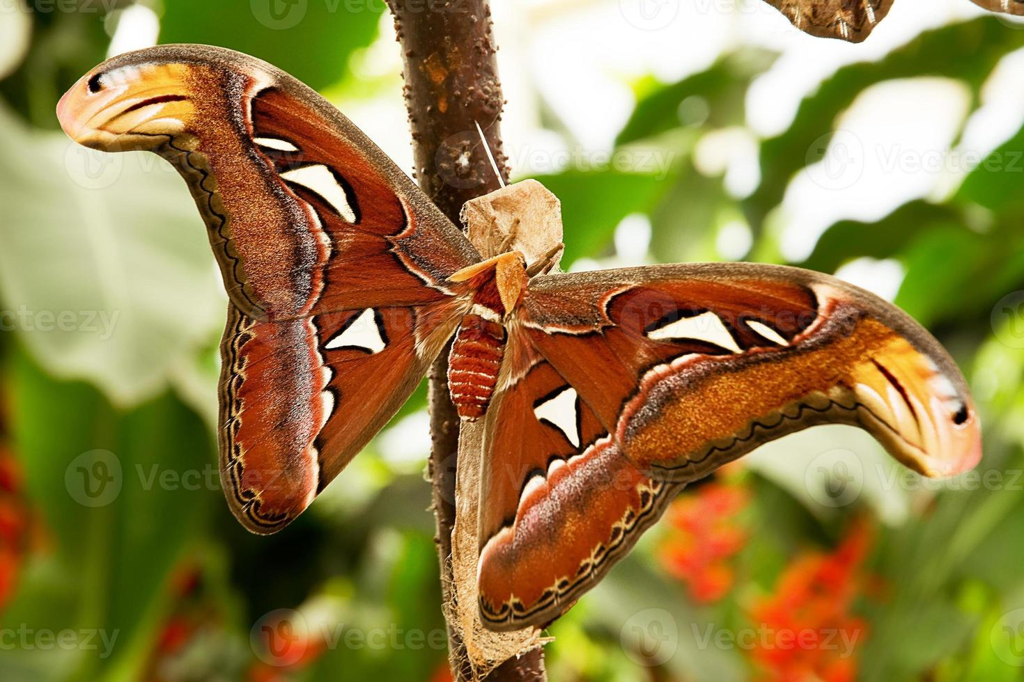 Tropical moth: Attacus Atla photo