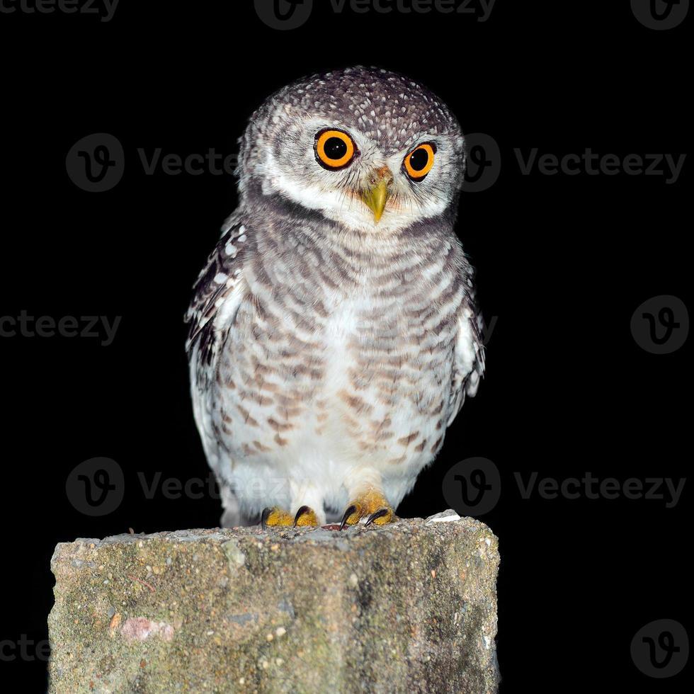 owl night bird photo
