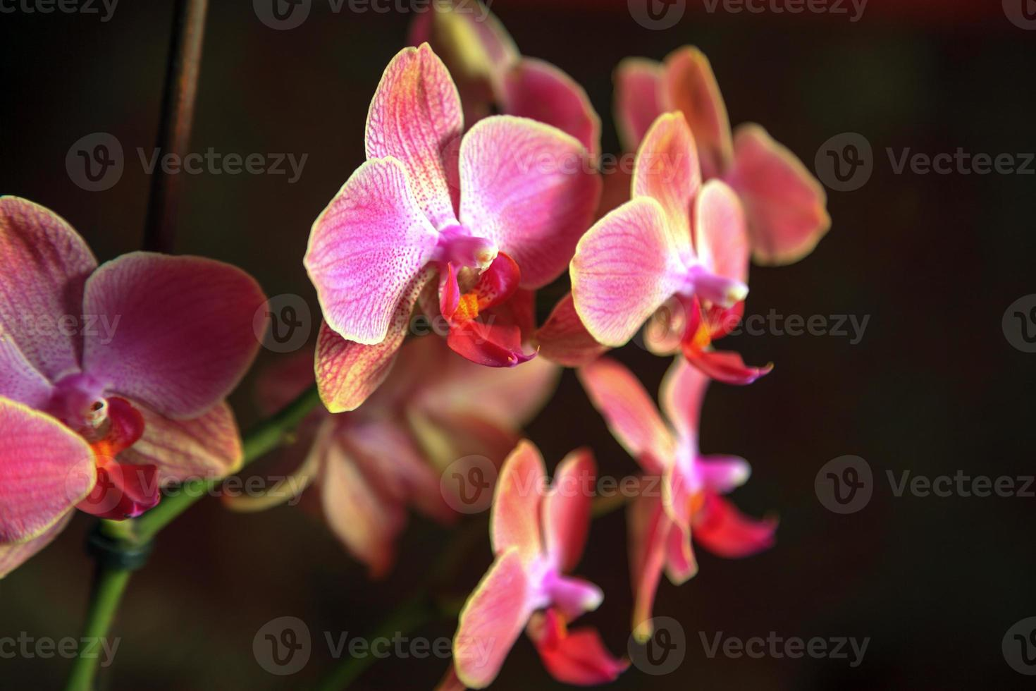 Purple Orchid Branch photo