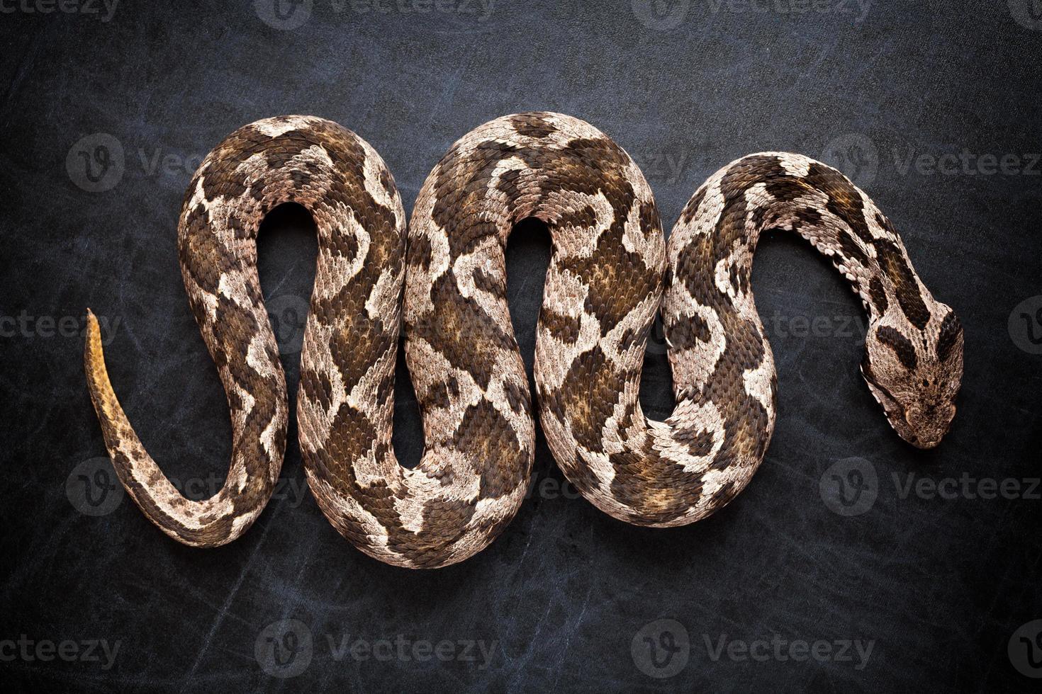 Viper snake photo
