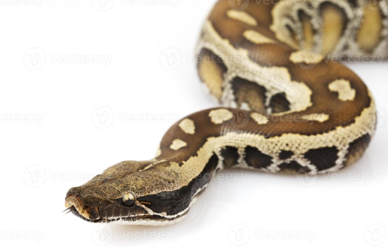 Blood Python photo