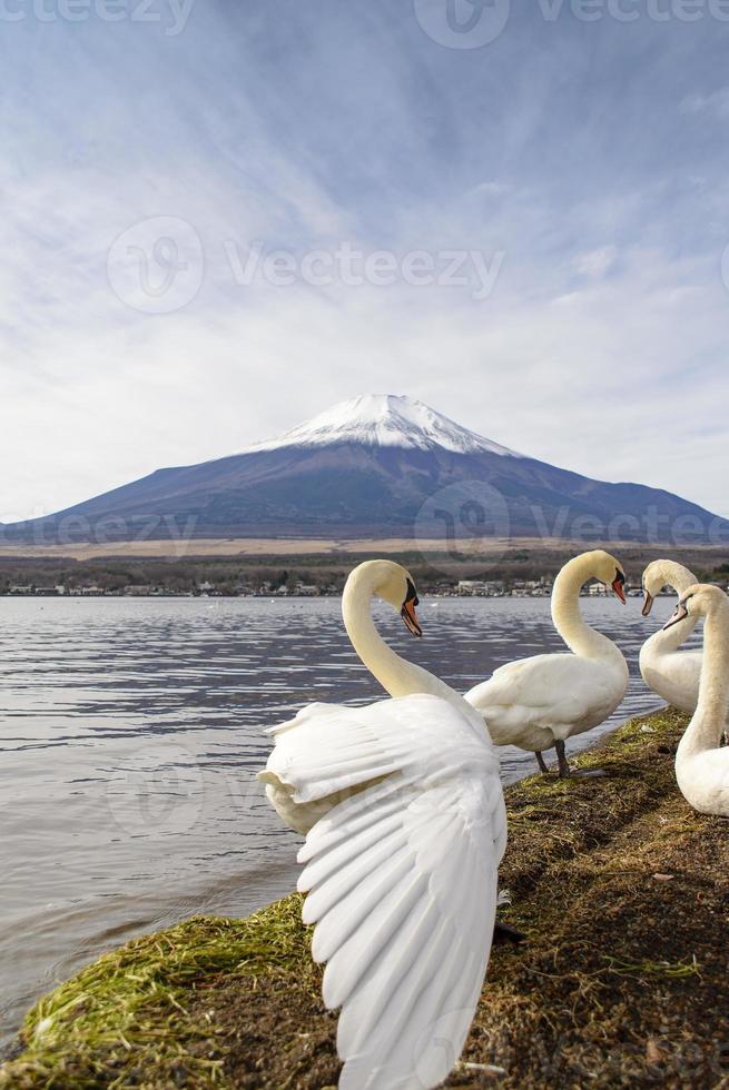 cisne en el lago yamanaka foto
