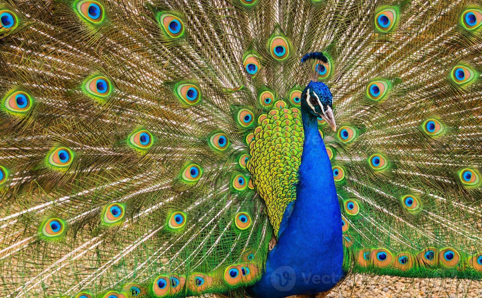 exhibición de pavo real foto