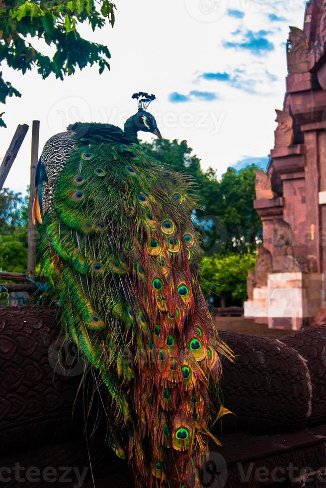 pavo real en tailandia foto