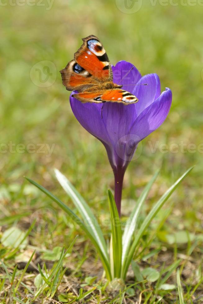 European Peacock (Inachis io) and Crocus, Saffron in the spring photo