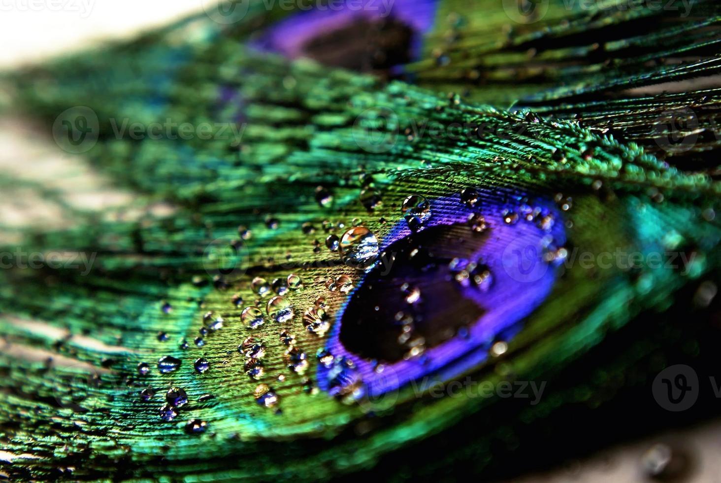 pluma de pavo real con gotas de agua foto