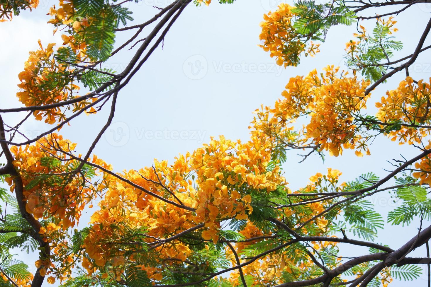 yellow Flamboyant photo